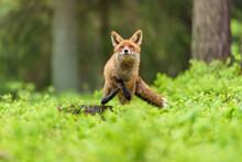 Cute Red Fox, Vulpes Vulpes In...