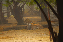 Two Spotted Deer Sat In A Grou...