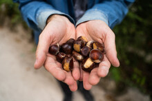 Man With A Bunch Of Brown Chestnuts In His Hands Freshly Picked In The Forest In Sintra, Portugal.