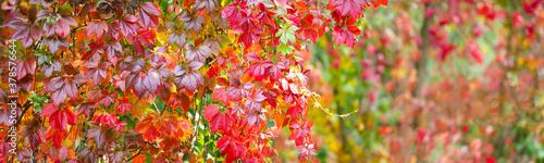 Fototapeta Panorama of colorful red leaves of Virginia creeper or Parthenocissus quinquefolia. Vine plant in autumn landscape obraz