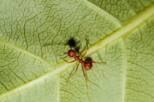 Macro Red Ant On Green Leaf In...