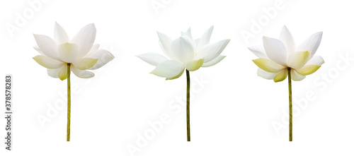Fotografie, Obraz White Lotus flower collections isolated on white background