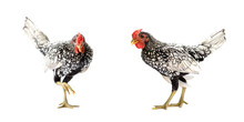 Two Isolated SeBright Chicken ...