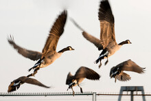 A Group Of Canadian Goose Taki...