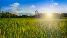 Ripe Rice Field And Sky With Cloud Background At Sunset Time With Sun Rays.