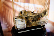 Owl In Golden Cage On Table