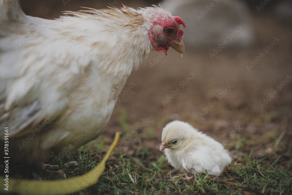 Fototapeta The hen takes cares her chick in the farm
