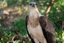 The White-bellied Sea Eagle (H...