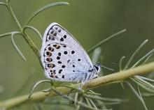 Plebejus Argus Silver-studded Blue Small Butterfly Of The Lycaenidae Family With Bright Blue Spots Perching On Immobile Green Plant At Sunrise On Uniform Green Background