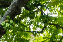 Averrhoa Bilimbi On The Tree, ...