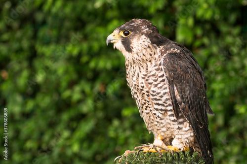 Fotografía falcon hawk bird of prey