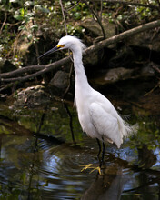 Snowy Egret Stock Photos. Image. Portrait. Picture. Beautiful White Fluffy Feathers Plumage. Standing In Water. Moss Rocks. White Colour.