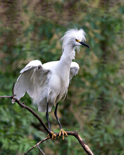 Snowy Egret Stock Photos.  Close-up Profile View Perched On A Branch With Wet White Spread Wings And With A Blur Green Background Enjoying Its Environment And Habitat. Picture. Image. Portrait.