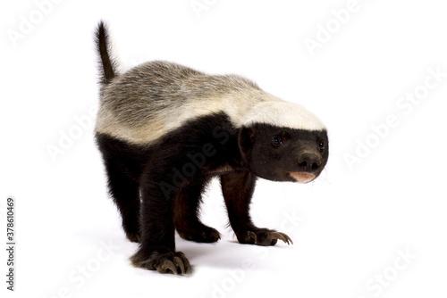 Photo honey badger (Mellivora capensis)