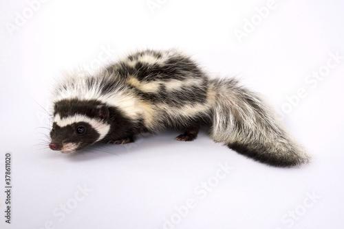 Billede på lærred Saharan striped polecat (Ictonyx libycus)