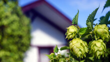 Branch Of Hops Close Up And Ho...