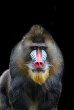 Portrait Of Mandrill Staring At The Camera
