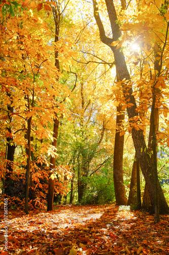 Okleiny na drzwi - Lasy - Drzewa  the-forest-in-autumn-foliage