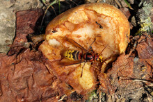 A Hornet And Ants On A Putrid Pear On The Ground - Stockphoto