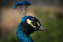 Closeup Of A Peacock