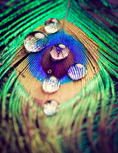 Closeup Of Peacock Eye Feather With Water Drops In Vivid Colors