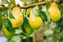 Bunch Of Ripe Juicy Pears Hang...