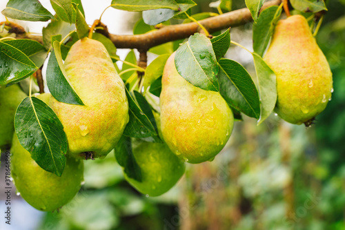 Bunch of Ripe juicy pears hanging on tree branches in fruit garden Fototapet
