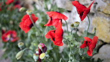 Green Poppy Seed Pods And Red Poppies, At The Side Of The Road