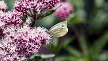 A White Butterfly Resting On A Pink Flower