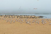Colony Of Seabirds On The Beac...