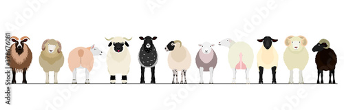 various sheep border Fototapet