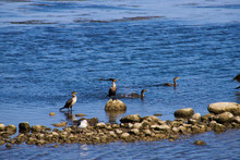 Pelicans And Seagulls Standing On Rocks In The Middle Of The Blue Lagoon Waters At Malibu Lagoon In Malibu California