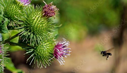 Fotografiet Greater burdock or edible burdock flowers (Arctium lappa)