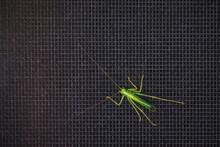 Bright Green Grasshopper On A ...