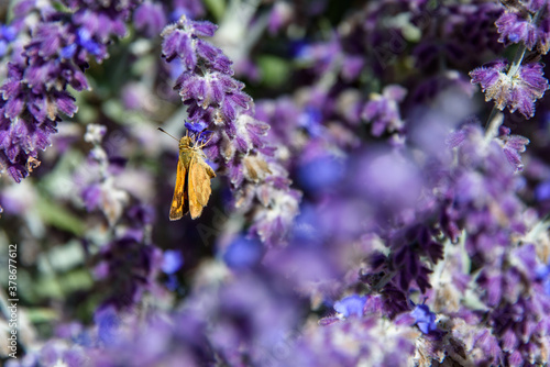 Obraz Closeup of an orange moth on a lavender plant blooming in a garden  - fototapety do salonu