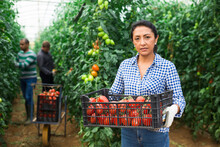 Experienced Hispanic Female Farmer Preparing Crates With Freshly Picked Tomatoes For Storage Or Delivery To Stores In Hothouse..