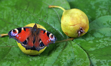 Colorful Butterfly Sitting On A Ripe Fallen Pear. Butterfly Drinking Juice. Fruit In The Garden