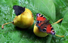 Colorful Butterflies Sitting On A Ripe Fallen Pear. Butterfly Drinking Juice. Fruit In The Garden