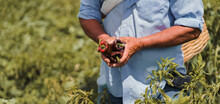 Farmer Hands Holding Chili Peppers