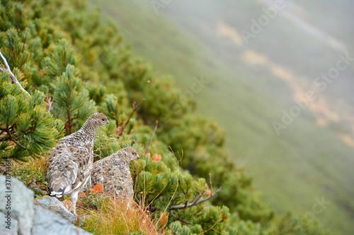 Vászonkép 雷鳥。横顔。絶滅危惧種。北アルプス。野鳥。成鳥。2羽。若鳥。雛。巣立ち。霧。ハイマツの森。警戒。斜面。野生動物。高山植物。