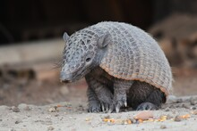Nine-banded Armadillo Feeding ...