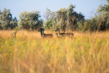 Roe Deer Herd With Cub Between Trees Graze In High Yellow-green Grass In The Tree Shadow. View From The Grass Level