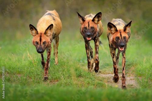 Wild dog, pack walking in the forest, Okavango detla, Botswana in Africa Tapéta, Fotótapéta