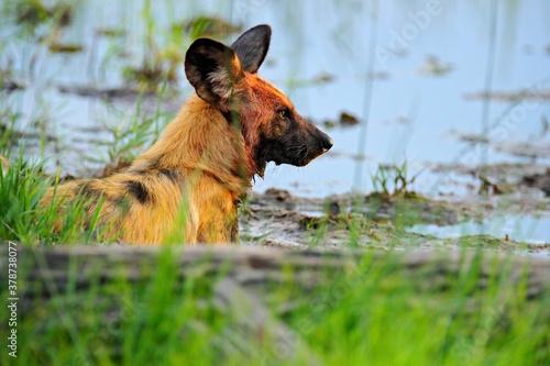 Vászonkép Wild dog, pack walking in the forest, Okavango detla, Botswana in Africa