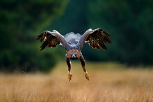 Golden Eagle Flying Above The ...