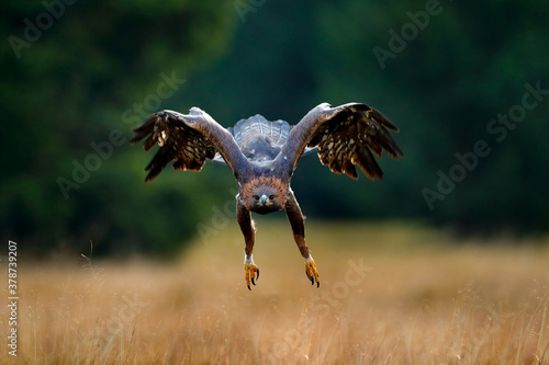 Fotografie, Obraz Golden eagle flying above the blooming meadow