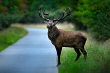 Red Deer Stag, Majestic Powerf...