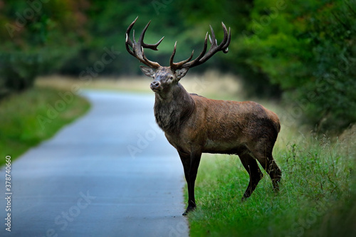 Red deer stag, majestic powerful adult animal on the asphalt tarmac road outside autumn forest. Big animal in the nature forest habitat, Denmark. Wildlife scene from nature.