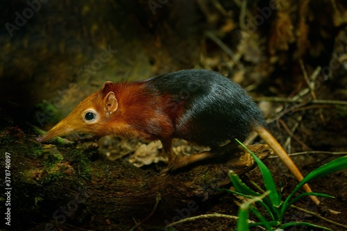 Fototapeta Black and rufous elephant shrew, Rhynchocyon petersi, small cute animal with long muzzle and long bare tail. Sengi in the nature forest habitat, Tanzania in Africa. Little mammal, wildlife Africa. obraz
