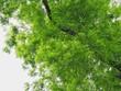 canvas print picture Elm Tree